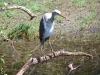 Juvenile White Necked Heron, Marglu