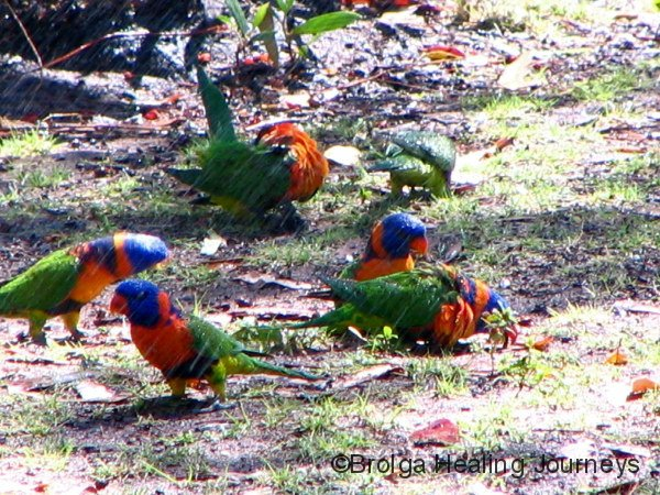 Red-collared Lorikeets cool off under the sprinkler