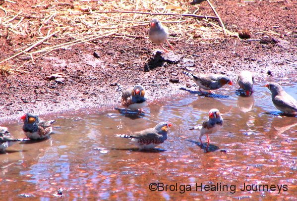 Zebra Finches make the most of a puddle after rain