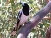Pied Butcherbird seen during the Mala Dreaming walk