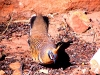 A Spinifex Pigeon puts on a courting display for the camera.