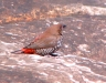Painted Finch at Watarrka National Park