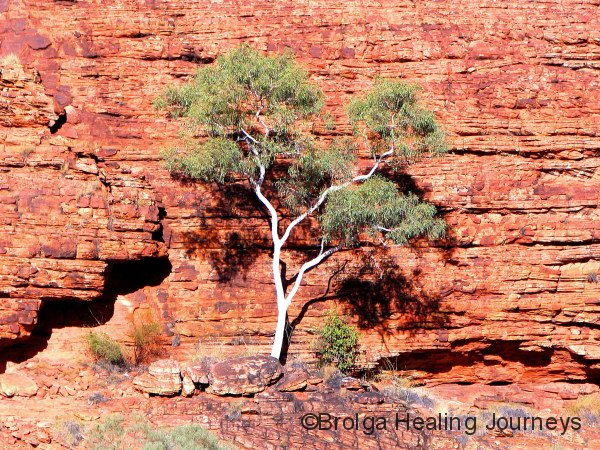 Ghost Gum contrasts against the cliff, Garden of Eden, Watarrka Ntl Pk