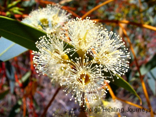 The sweet scented flowers of the Finke River Mallee