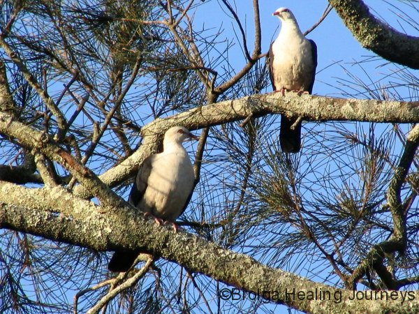 White-Headed Pigeons at Hat Head National Park, NSW