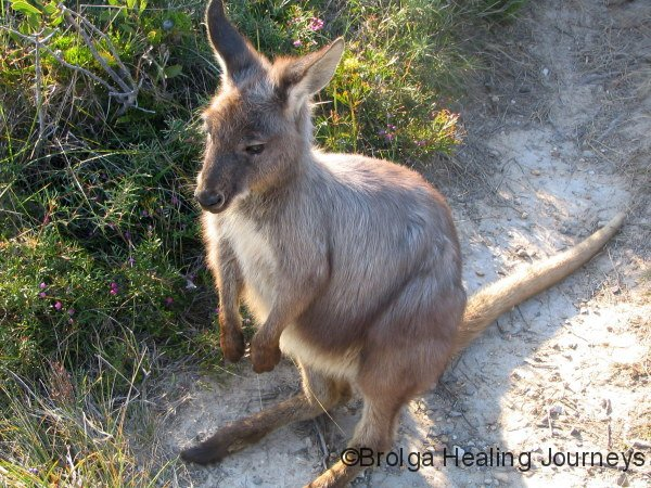 'Kyle' resident Swamp Wallaby at Crowdy Bay Ntl Pk