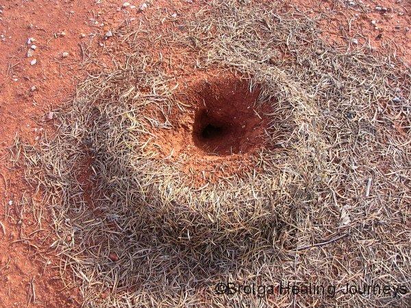 Ant nest, Gundabooka Ntl Pk