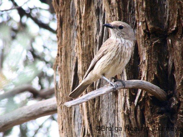 Brown Treecreeper (or female Rufous Whistler, not sure which), Gundabooka Ntl Pk