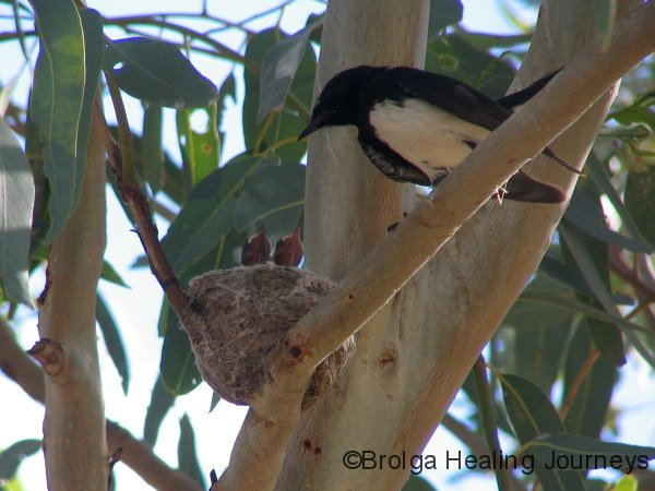 Willy Wagtail, nest & chicks, Louth