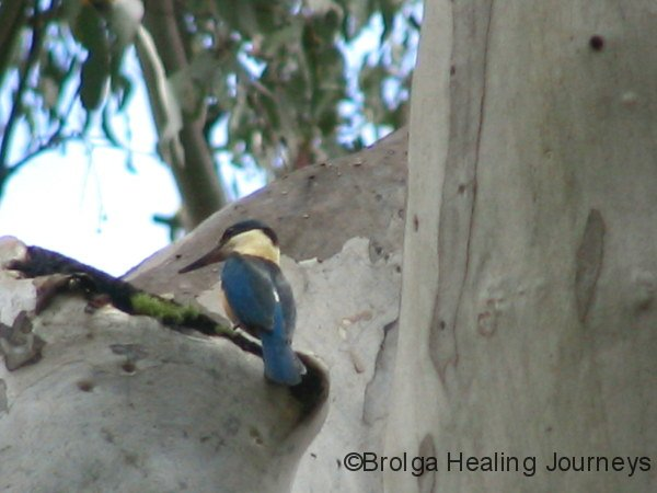 Sacred Kingfisher – Mt Kaputar National Park