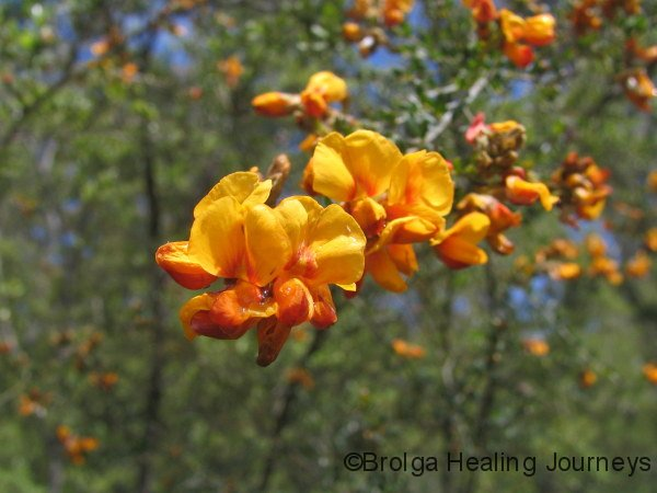 Wildflowers – Mt Kaputar Ntl Pk