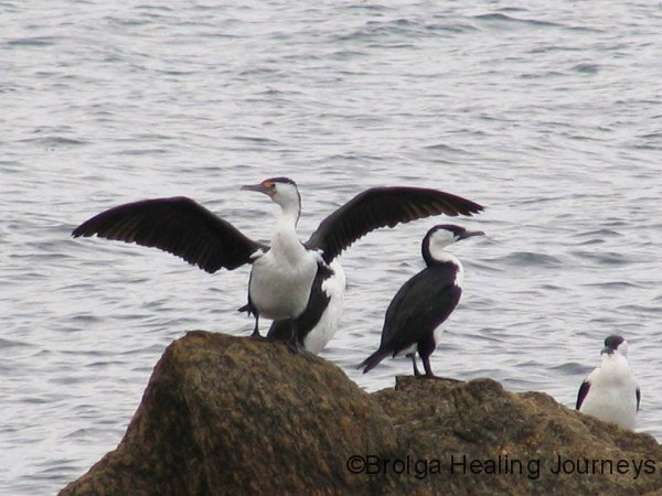 Look at moi!  Pied Cormorants, Lipson Cove.  Wings held out to dry.
