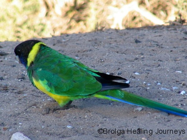 Port Lincoln Parrot, at Surfleet Cove bush campground, Lincoln Ntl Pk.  Our first encounter.