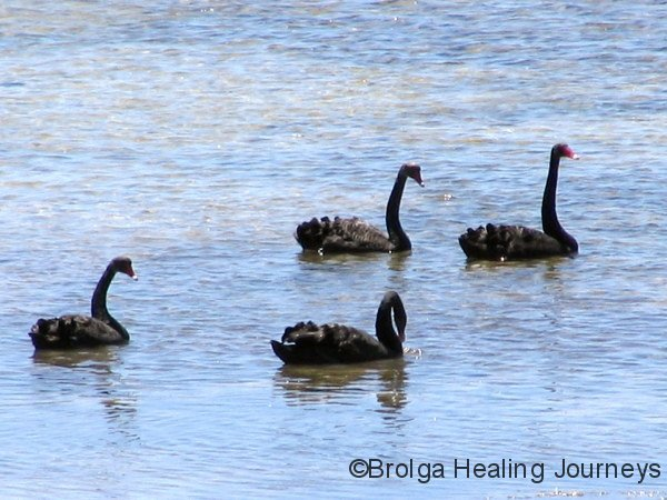 Black Swans in Surfleet Cove
