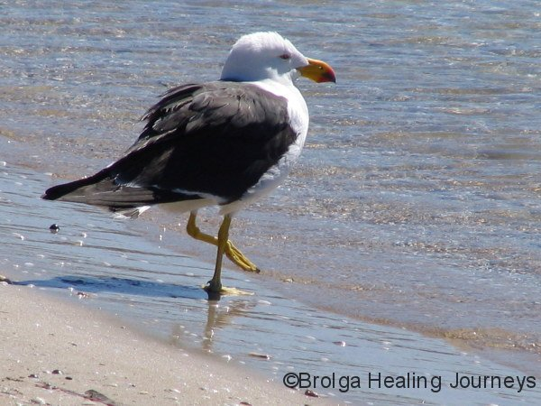 Pacific Gull (double the size of Common Seagull), Lincoln Ntl Pk