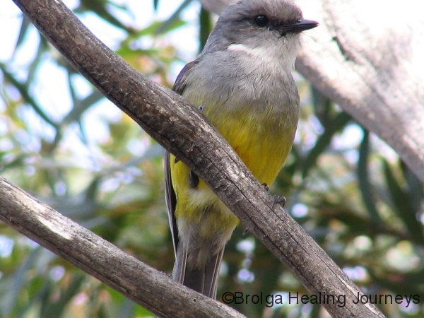 Western Yellow Robin, at campsite, Memory Cove