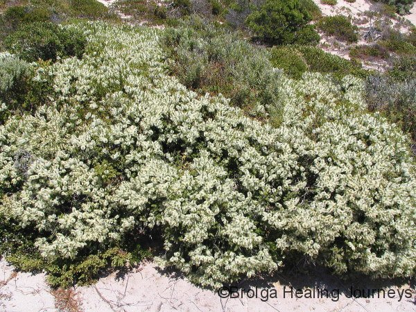 Low growing Melaleuca in flower, sandhill near Southern Ocean