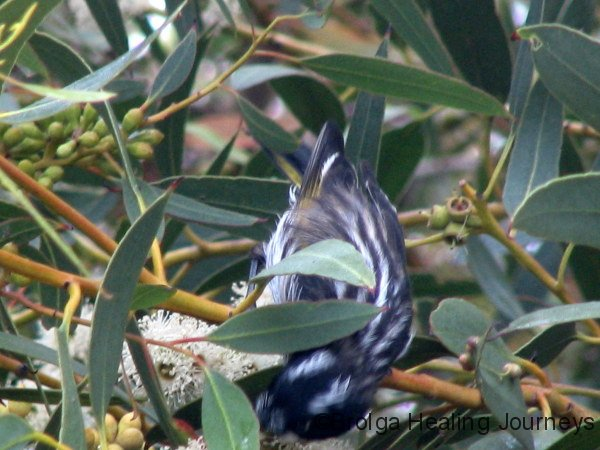The elusive New Holland Honeyeater feasting on a gum blossom