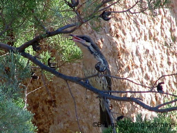 A well-camouflaged Spiny-Cheeked Honeyeater, Trezona hike