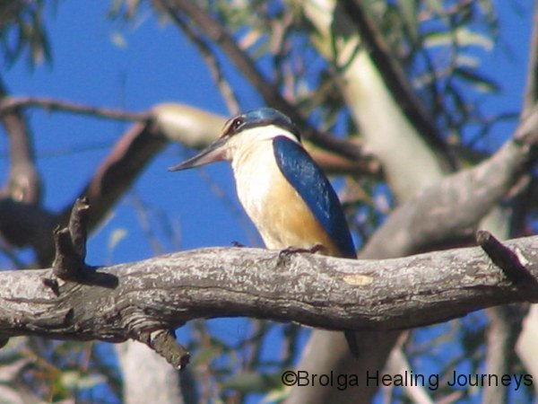 Sacred Kingfisher, Mt Remarkable National Park, SA