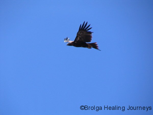 Wedge-Tailed Eagle over the Flinders Ranges