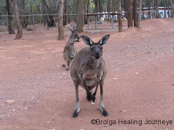 Campsite visitors at Wilpena Pound.  Licking fore-limbs to cool off in the extreme heat.