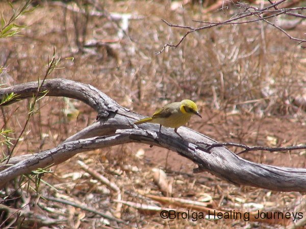 Honeyeater (exact species unknown) , Bunyeroo Gorge