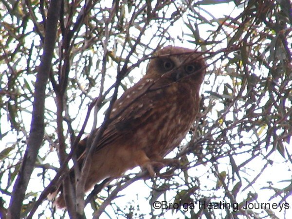 Adult (parent) Southern Boobook Owl
