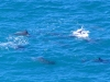 Dolphins encircling their prey