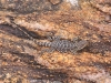 Well-camouflaged jumping lizard