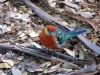 Western Rosella (male), Gloucester National Park