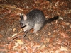 One of the marauding Ring-Tailed Possums, Workers Pool