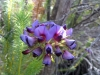 Wildflower at West Cape Howe Ntl Pk