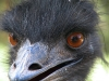 Who's a pretty boy then – emu at animal park near Denmark