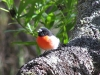Scarlet Robin (male) at Crystal Springs campsite