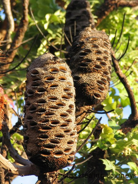 Banksia, late afternoon.