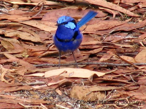 Splendid Fairy Wren (male) – Northcliffe