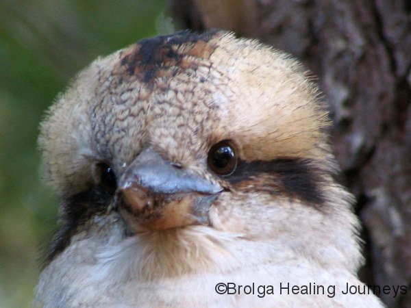 Kookaburra campsite visitor at Big Brook