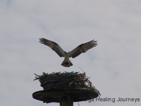 Osprey about to land in artificial nest, built for it by residents of Point Moore