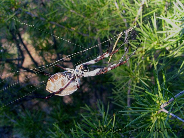 A close encounter – large spider met during bushwalk