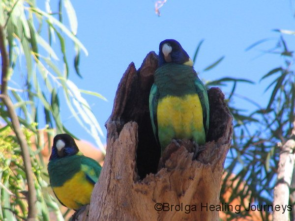 Ringneck parrots – known as Twenty Eights in WA, nesting in Kalbarri Ntl Pk.