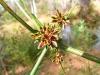 Stiff-leafed Sedge (water grass) flower