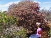 A Rose amongst the native flowering shrubs, en route Burringurrah to Kennedy Range Ntl Pk
