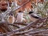 Butcherbird Fledglings, Draper's Gorge