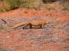 Pedestrian crossing – Racehorse Goanna in Toolonga Nature Reserve