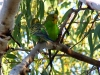 Budgerigars at campsite, House Creek