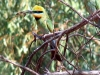 Rainbow Bee-Eater with lunch in beak, at Kusput Pool
