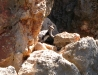 The endangered, elusive and beautiful Western Black-Footed Rock Wallaby