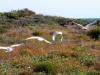 Corellas in flight, near campsite at Osprey Bay