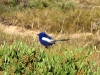 Male White Winged Fairy Wren.  A boring name for a stunning little bird.